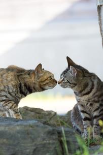 鼻を付け合う二匹の猫の写真素材 [FYI04512743]