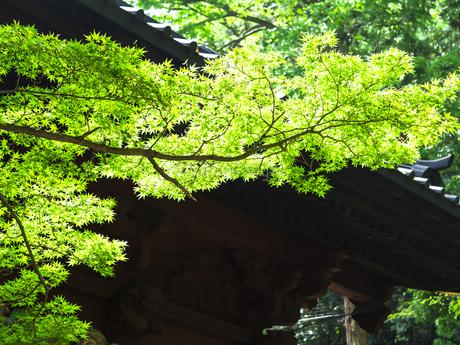 鎌倉・妙本寺の新緑の写真素材 [FYI04512955]