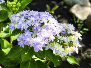 紫陽花で有名な鎌倉・長谷寺の可憐な紫陽花の写真素材 [FYI04512993]