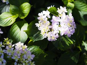 紫陽花で有名な鎌倉・長谷寺の可憐なピンクの紫陽花の写真素材 [FYI04513004]