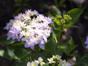 紫陽花で有名な鎌倉・長谷寺の可憐な紫陽花の写真素材 [FYI04513019]
