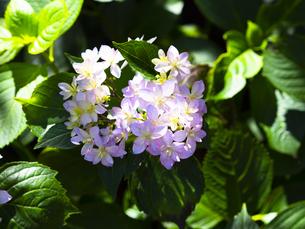 紫陽花で有名な鎌倉・長谷寺の可憐な紫陽花の写真素材 [FYI04513023]
