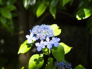 紫陽花で有名な鎌倉・長谷寺の、ブルーの紫陽花の写真素材 [FYI04513032]