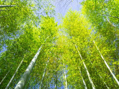 鎌倉・長谷寺の新緑の竹林の写真素材 [FYI04513036]