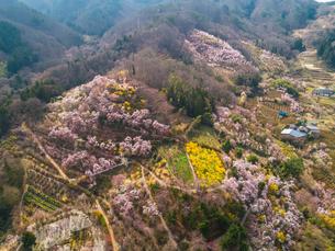 桜の花見山 俯瞰 の写真素材 [FYI04513514]