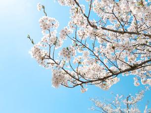 青空と桜の写真素材 [FYI04513548]