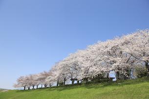 大阪、淀川河川敷の桜並木の写真素材 [FYI04513710]