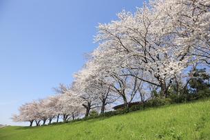 大阪、淀川河川敷の桜並木の写真素材 [FYI04513711]