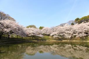 池と桜の写真素材 [FYI04513771]