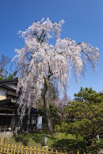 喜多家しだれ桜の写真素材 [FYI04513784]
