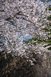 金沢城公園:石垣と桜の写真素材 [FYI04513865]
