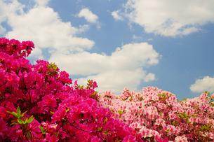 日吉神社つつじ園の写真素材 [FYI04513988]