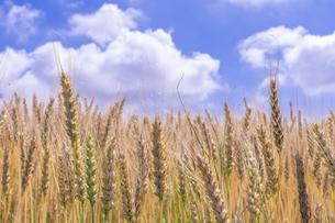 夏空と収穫期の小麦の写真素材 [FYI04514871]