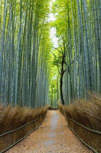 嵯峨野竹林の道の写真素材 [FYI04515021]