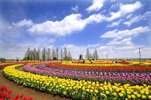 あけぼの山公園チューリップお花畑の写真素材 [FYI04515224]