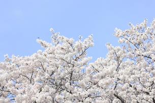 八幡背割堤公園の桜の写真素材 [FYI04515406]