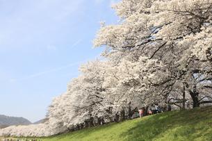 八幡背割堤公園の桜の写真素材 [FYI04515409]