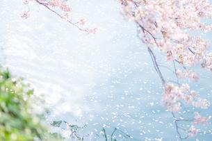 桜/Cherry Blossomsの写真素材 [FYI04515496]