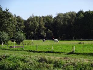 スェーデンの田舎の牧草地と牛  cows on the grassland in Swedenの写真素材 [FYI04515544]