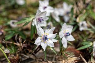 節分草の花の写真素材 [FYI04515728]