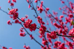 赤い花桃の花の写真素材 [FYI04515729]