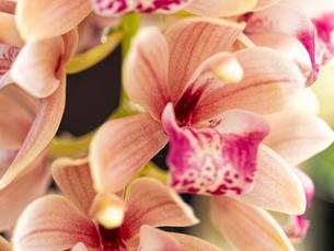 オレンジ色のシンビジウムの花の写真素材 [FYI04515730]