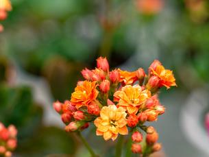 オレンジ色のカランコエの花の写真素材 [FYI04515734]
