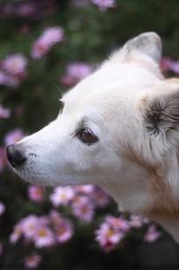 犬の横顔と花の写真素材 [FYI04516243]