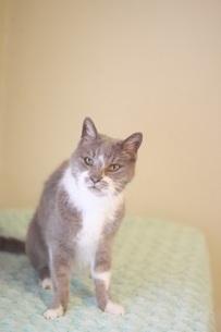 老猫18歳の写真素材 [FYI04516249]