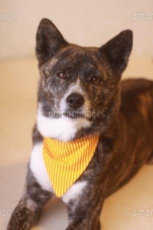 バンダナをして見つめる虎毛の犬の写真素材 [FYI04516254]