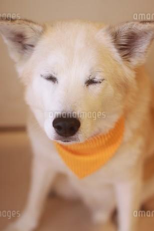 目を閉じて座る老犬の写真素材 [FYI04516255]