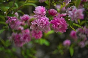 小桜の写真素材 [FYI04516425]