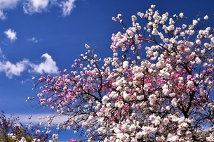 青空をバックに花モモが、白とピンクの輪違いで咲き誇るの写真素材 [FYI04516476]