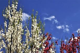 青空を背景して、白とピンクの花モモが咲き誇るの写真素材 [FYI04516477]