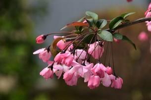 優しくうな垂れる、カイドウのピンクの花びらの写真素材 [FYI04516481]