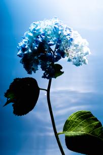 紫陽花と青い背景の写真素材 [FYI04516552]