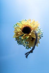 向日葵と青い背景の写真素材 [FYI04516553]