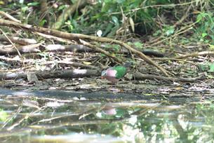 夏の渡り鳥/キンバトの写真素材 [FYI04516773]