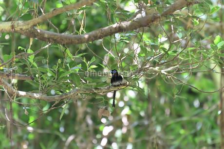 夏の渡り鳥/サンコウチョウの写真素材 [FYI04516775]
