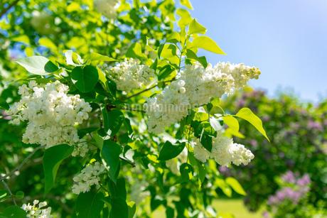 札幌市 百合が原公園に咲く春の花の写真素材 [FYI04516794]
