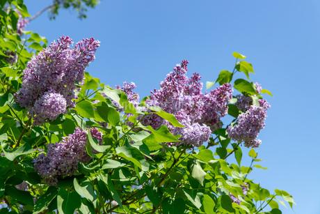 札幌市 百合が原公園に咲く春の花の写真素材 [FYI04516795]