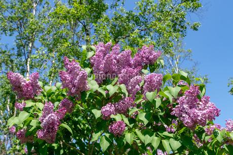 札幌市 百合が原公園に咲く春の花の写真素材 [FYI04516798]