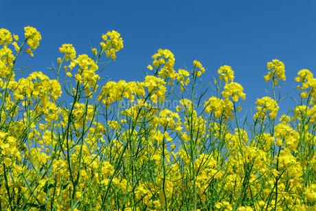 札幌市 百合が原公園に咲く菜の花の写真素材 [FYI04516804]