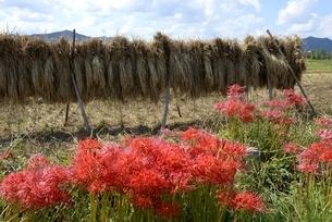 秋,彼岸花と稲を自然乾燥の写真素材 [FYI04516930]