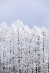 カラマツ林樹氷の写真素材 [FYI04516955]