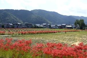 秋,彼岸花と稲の収穫後の田園の写真素材 [FYI04516981]