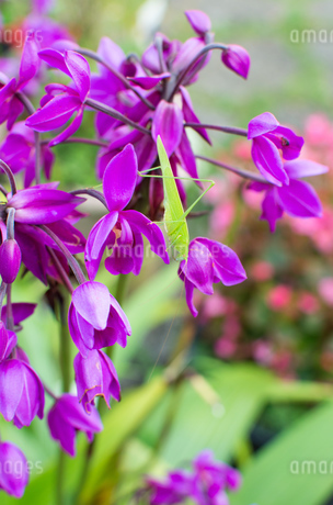 紫のコウトウシランにいる緑色の昆虫のサトクダマキモドキの写真素材 [FYI04517050]