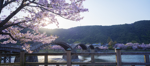 山口県 桜 錦帯橋 夕景の写真素材 [FYI04517178]