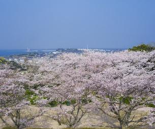 山口県 桜 戦場ヶ原公園の写真素材 [FYI04517204]