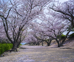 山口県 桜 戦場ヶ原公園の写真素材 [FYI04517219]